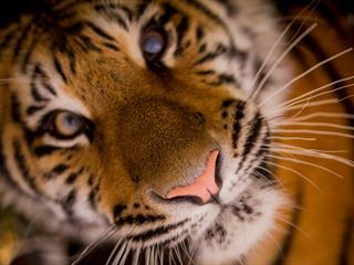 Az este verse - William Blake: A tigris